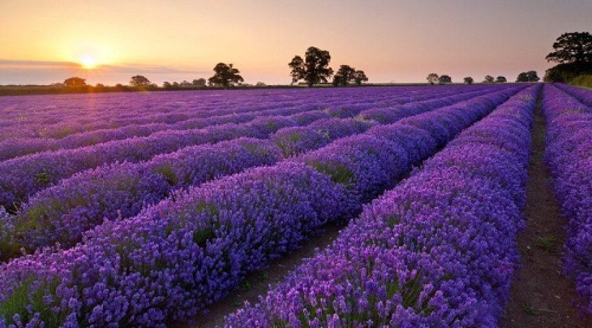 Tác dụng không ngờ đến của tinh dầu oải hương (Lavender)