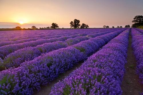 Tác dụng của tinh dầu oải hương (Lavender)