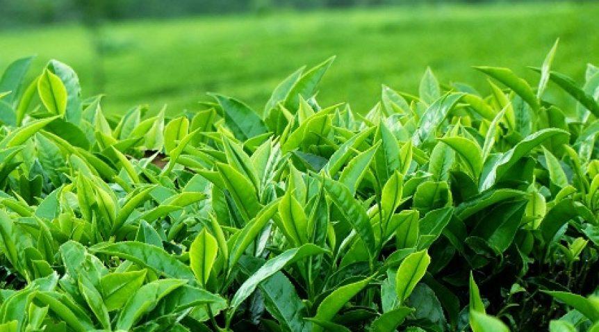 Tìm hiểu về tinh dầu trà xanh