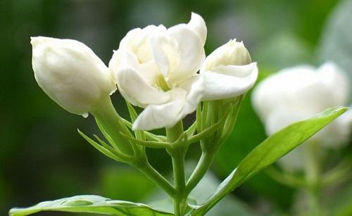 Tác dụng của tinh dầu hoa nhài