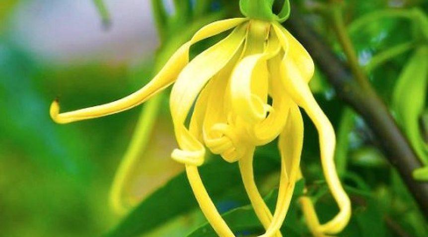 Tìm hiểu công dụng và cách dùng tinh dầu ngọc lan tây