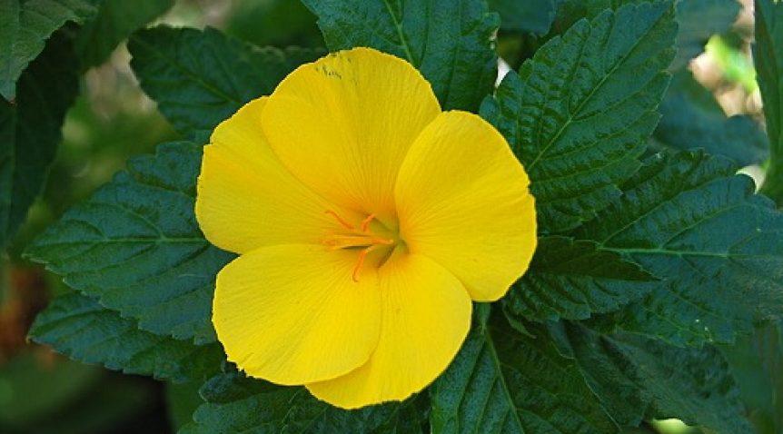 Tác dụng của tinh dầu hoa anh thảo với sức khỏe và làm đẹp